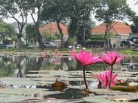 Bunga teratai mempercantik danau (Fitraya/detikTravel)