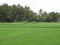 Pemandangan persawahan yang serba hijau, khas Sumatera Barat (Afif/detikTravel)