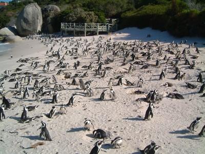 Nongkrong Bareng Ribuan Penguin, Hanya di Pantai Ini