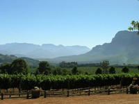 Ladang anggur di Cape Vinelands (opentravelinfo.com)