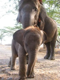 Induk gajah bersama anaknya (Yusman Firmansyah /ACI)