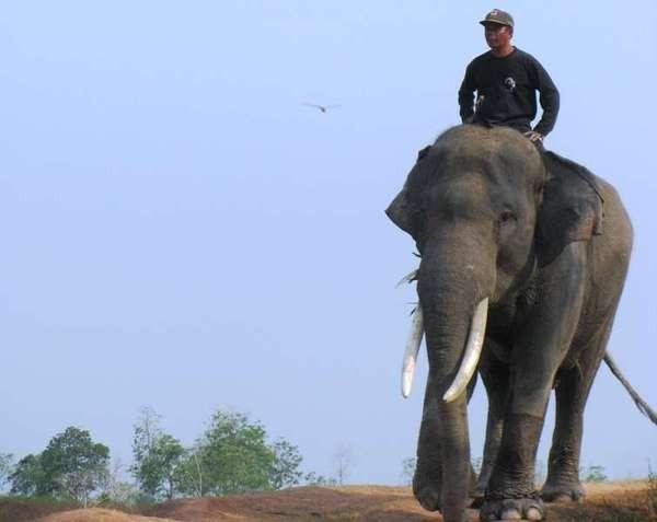 Gajah bersama pawangnya (Yusman Firmansyah /ACI)