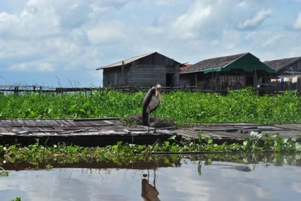 Bangau Cokelat di Pinggir Sungai Ohong