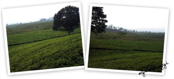 Hamparan kebun teh