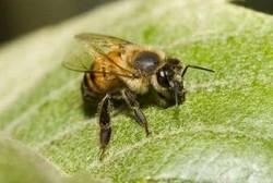 Pertolongan Pertama Apabila Disengat Lebah