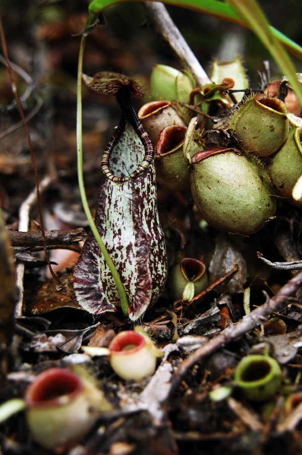 Salah satu keluarga Nepenthes