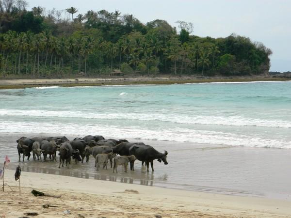 Kerbau-kerbau di pantai Legon Pari