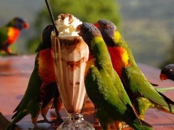 Burung Nuri Ternyata Doyan Minum Milkshake