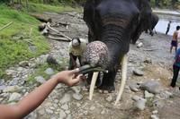 Memberi makan gajah