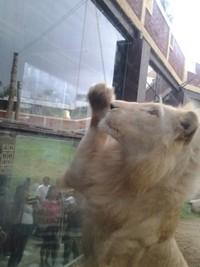 singa makan