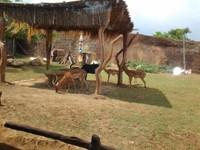 penangkaran rusa