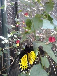 Kupu-kupu kuning