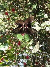 Dua kupu-kupu yang saling berdempetan