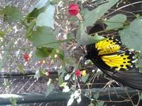 Kupu-kupu kuning cantik