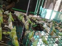 Kepompong yang siap menjadi kupu-kupu