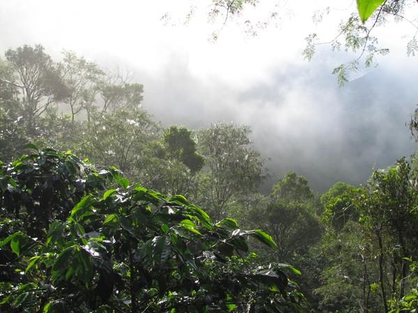Perkebunan Kopi Gayo Diatas Gunung