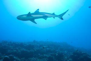 Sirip Ikan Hiu Menambah Kejantanan Pria, Benarkah?