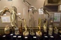 Icelandic Phallological Museum, sebuah museum unik yang berlokasi di Husavik Islandia ini akhirnya resmi mendapatkan koleksi penis manusia, Jumat 8 April 2011. Penis tersebut disumbangkan oleh Pall Arasson, pria 95 tahun asal Akureyri yang meninggal 5 Januari 2011. (Foto: Reuters)