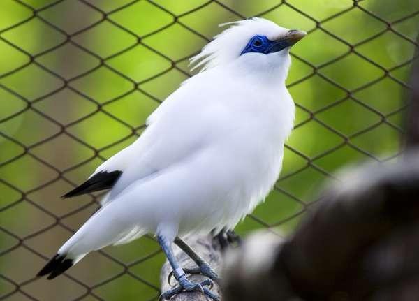 Gara Gara Burung Jalak Bali Teguh Duduk Di Kursi Pesakitan