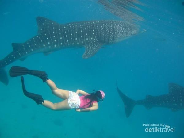 Berenang  dan berdekatan bersama Whale Shark