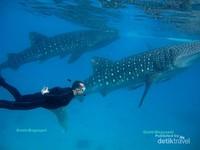 sensasi tersendiri berenang bersebelaha dengan 2 whale shark