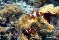 Finding Nemo! Ikan-ikan Nemo di Gili Kondo