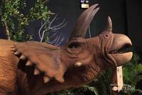 Leluhurnya badak, Triceratops