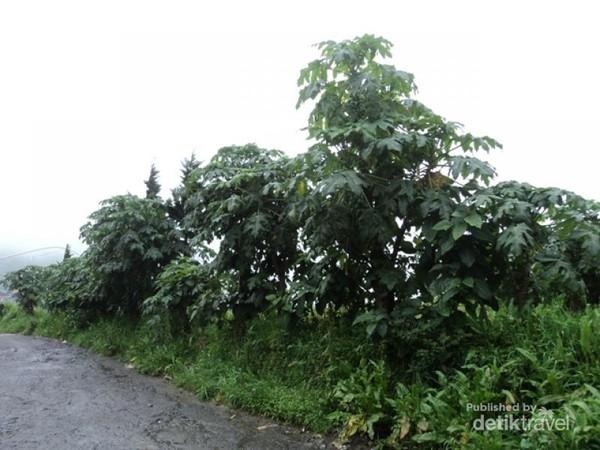 Pohon Carica disepanjang sisi jalan menuju desa