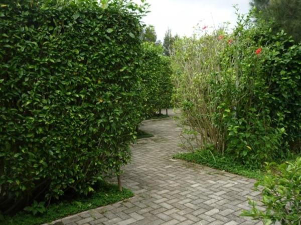 Taman Labirin dengan pepohonan yang cukup tinggi. Normalnya, tidak sampai 15 menit kita bisa menemukan jalan keluarnya.