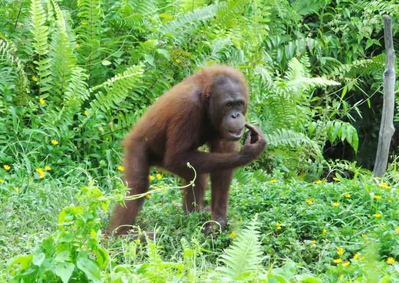 Tiny disebut sebagai orangutan paling pintar (Shafa/detikTravel)