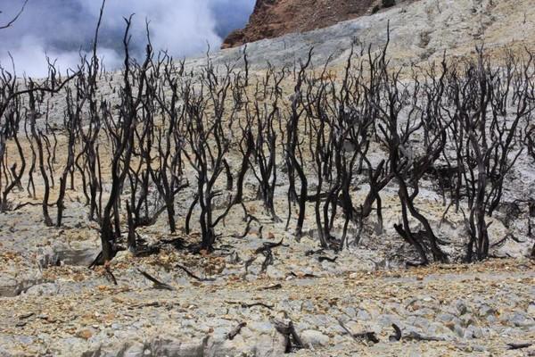 Sekumpulan pohon kering bekas terkena erupsi Gunung Papandayan.