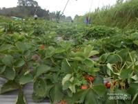 Kebun Stroberi