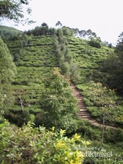 Ada Bukit Borobudur di Perkebunan Teh Jamus, Ngawi
