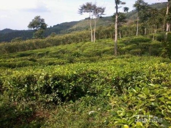 Gambar Kebun Teh Jamus Ngawi Ada Bukit Borobudur Di Perkebunan Teh Jamus Ngawi