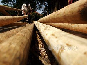 Penjualan Pohon Pinang Meningkat