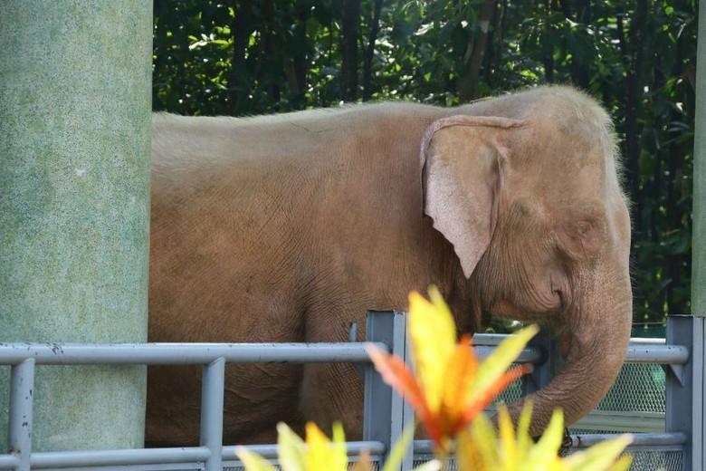 Gajah Putih Ternyata Sungguhan Ada Tapi Bukan Di Thailand