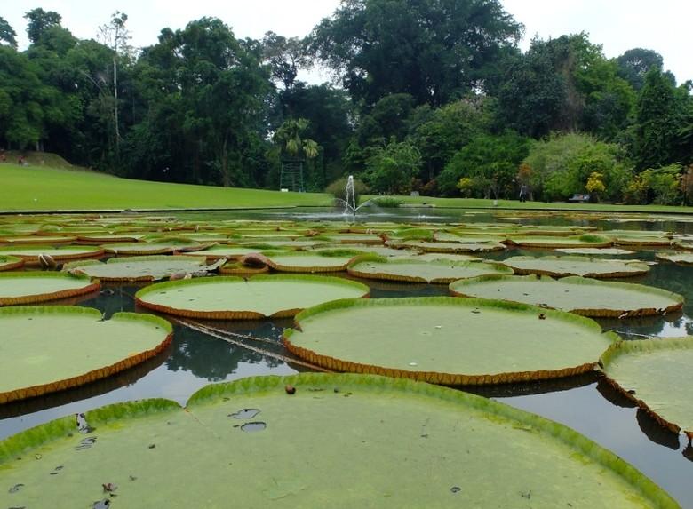 Teratai raksasa di kolam Taman Astrid, Kebun Raya Bogor (Sastri/detikTravel)