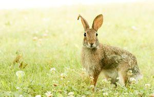 Konsumsi Daging Kelinci, Halal atau Haram?