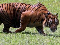 Harimau Sumatera Panti dan Petir Dilepaskan