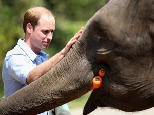 Pangeran William Kunjungi Konservasi Gajah di Tiongkok