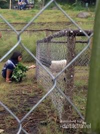 Terdapat tempat untuk memberi makan kambing