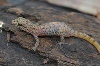 Ini 6 Spesies Baru Ditemukan di Tambora: Cicak Hutan hingga Kupu-kupu Malam