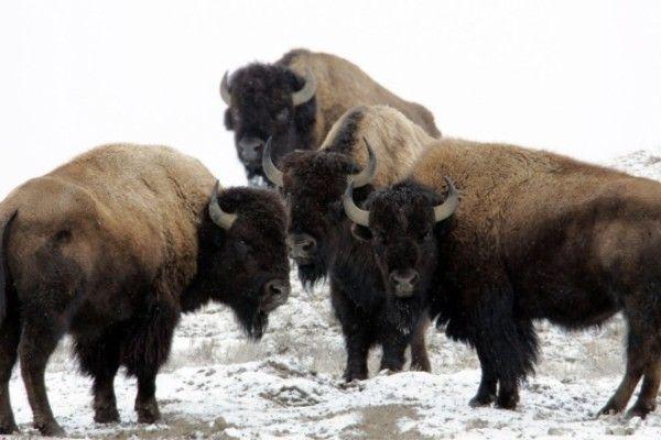 50++ Hewan bison adalah terupdate