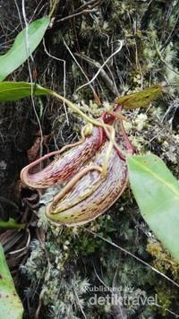 Kantong Semar (Nepenthes gymnamphora) di Gn Aseupan