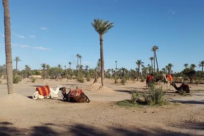 Naik Unta di Kawasan Mewah Maroko, Seru!