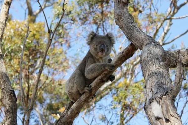Koala, hewan khas Australia (zoo.org.au)