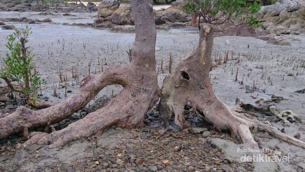 Akar Pohon Bakau