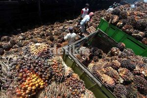 Minyak Dunia Merosot, Harga CPO Masih Akan Melempem Tahun Ini