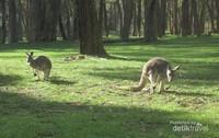 Kanguru berkeliaran bebas di Gumeracha