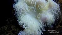 Anemone yang lembut dan sensasional